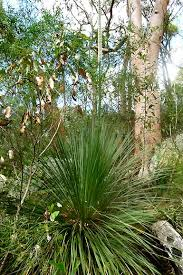 xanthorrhoea arborea Image:  Friends of Lane Cove National Park