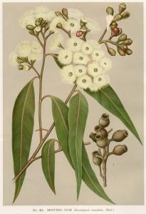 Corymbia maculata, artist Edward Minchin