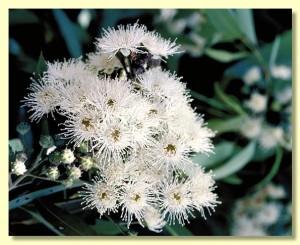 endangered Angophora floribunda Source:  anbg.gov.au