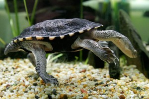 Long necked tortoise  Source: Wikimedia commons
