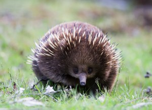 Short beaked echidna Source:  Wikimedia Commons
