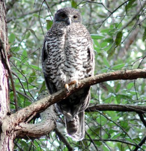 vulnerable species, Powerful Owl  Image:  Brad Law
