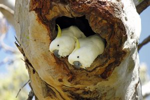 cockatoos in nesting hollow Image Danielle Bamforth